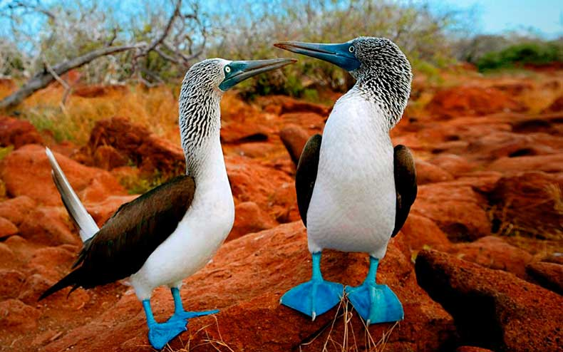 blue-footed-booby-galapagos-islands-bird-sula-animals-e1456804454366