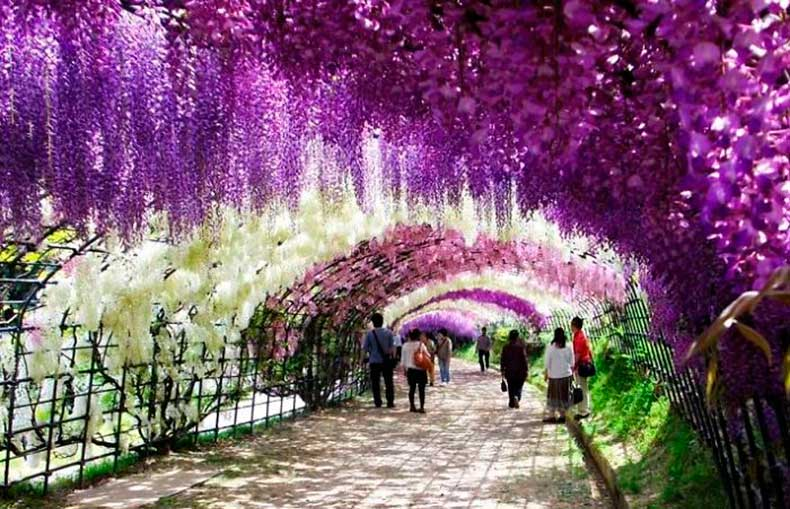 6.-Wisteria-Tunnel-Japan